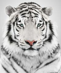 Fototapete - White tiger