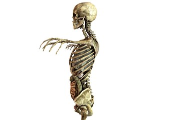 human skeleton with detailed anatomy organs