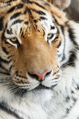 Beauty of a tiger