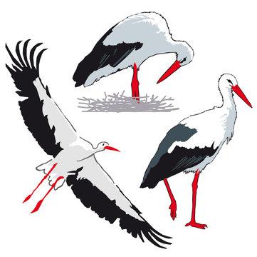 Oiseaux - Cigogne