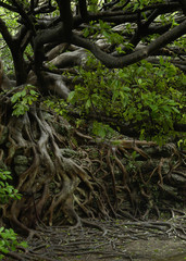 アコウの木1