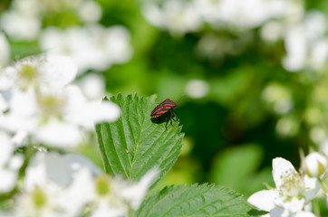 small red beetle sits on leaf summer nature