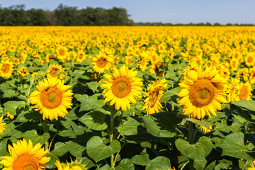 Sunflower field with three of them focused
