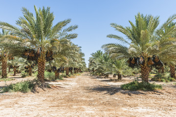Plantation of date's palms with ripening dates