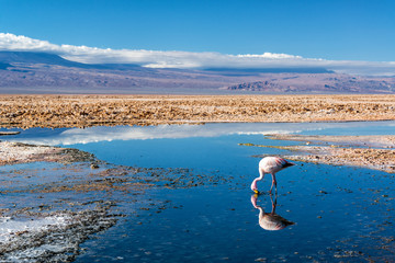 Flamingo in Lake Chaxa
