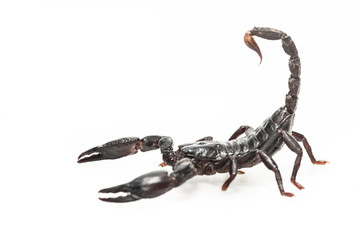 Black Scorpion isolated on white
