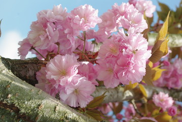 Arbre fleur rose
