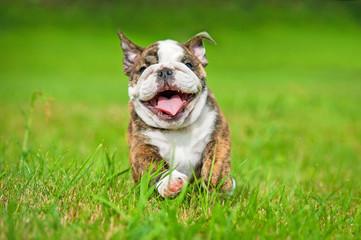 Happy english bulldog puppy running