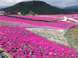 Garden Poster Pink 芝桜