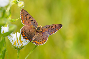 The Sooty Copper (Lycaena tityrus) butterfly.