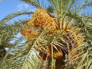 Date palm in the Tuareg, Tunisia
