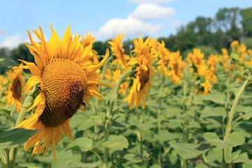 big sunflower close up shot