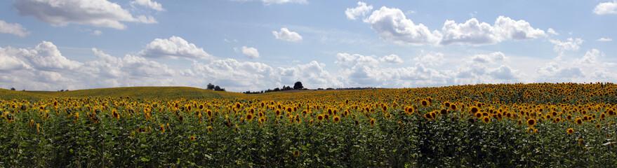 panorama shot of sunflower fields in Ukraine