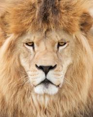 Fototapete - Face of majestic lion