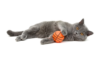 gray cat (breed scottish-straigh) with a ball on a white backgro