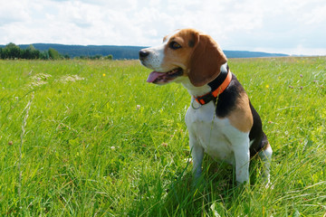 Beagle on a meadow
