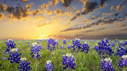 Printed roller blinds Texas Bluebonnets in the Texas Hill Country