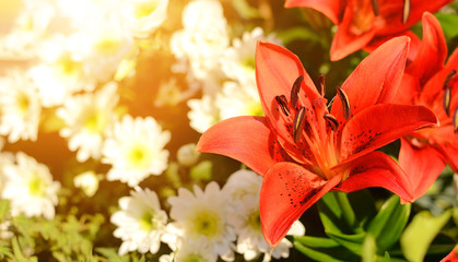 Closeup photo of red lily