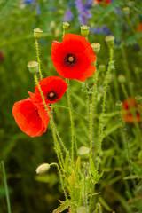 Time of  flowering poppy.