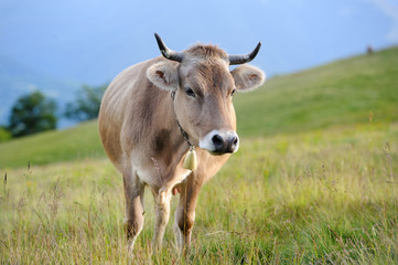 Cow in nature