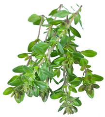 Green fresh thyme.