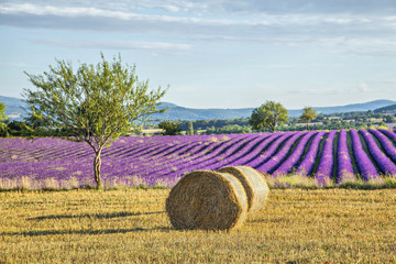 Aluminium Prints Lavender Lavander fields with hay rolls on the front view