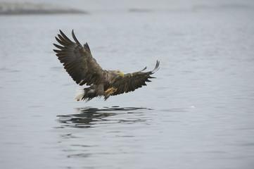 Eagle Catching Prey