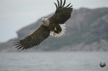 Hunting Sea Eagle