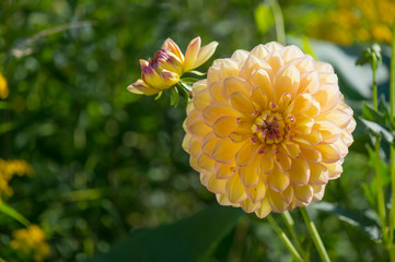 Yellow Pompon Dahlia