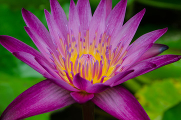 violet lotus in the lake is beauty