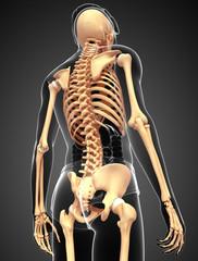 male skeleton back view
