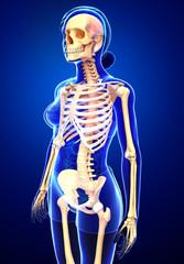 Female skeleton side view