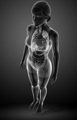 Female digestive system x-ray artwork