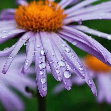 purple daisy flowers with raindrops