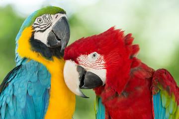 Photo sur Plexiglas Perroquets parrots