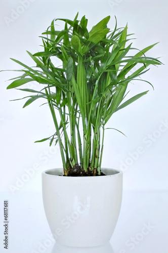 zimmerpflanze palme imagens e fotos de stock royalty free no imagem 68117681
