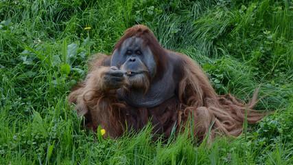 Rauchender Orangutan