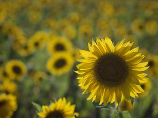 Solar field of sunflowers in Russia