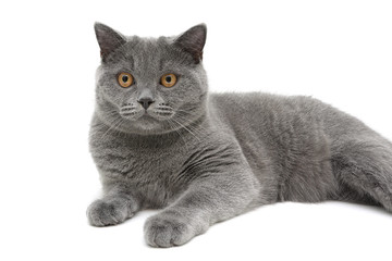 beautiful cat closeup on white background