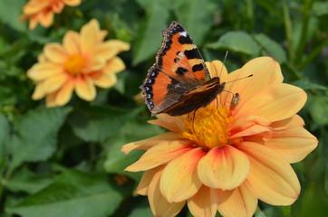 Schmetterling und Käfer auf einer Dahlienblüte