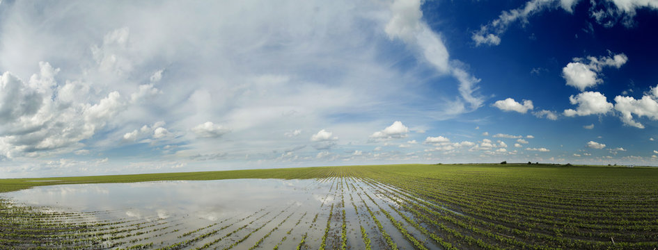 Agricultural disaster, panorama shot of flooded soybean crops.