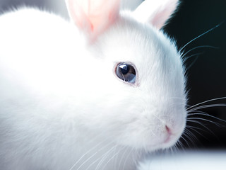 Close up portrait of cute white baby bunny