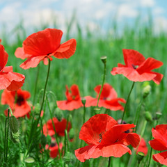 red poppies on green meadow