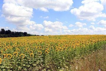 large sunflower field in one Ukrainian village