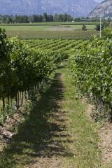 Wall Murals Vineyard vineyard in spring