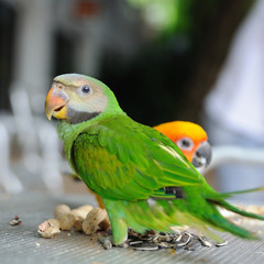 Beautiful cute Red-breasted Parakeet, in action
