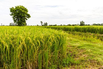Trees grown in the lush paddy fields of agriculture of Thailand
