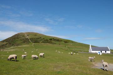 Sheep grazing near chapel at Mwnt, Cardigan coast
