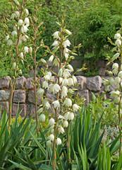 Kerzen-Palmlilie
