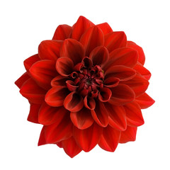 Spoed Fotobehang Dahlia Red dahlia isolated on white background